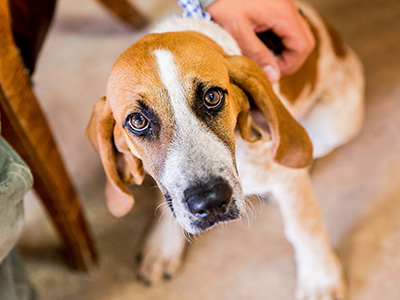 hound puppy at Headwaters Veterinary Hospital
