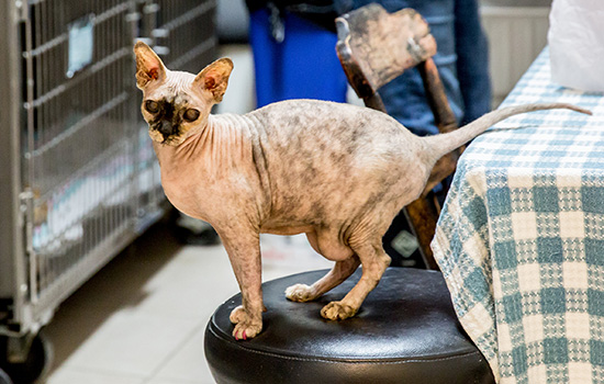 hairless cat on a stool