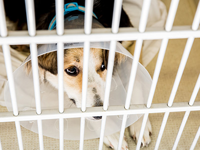 dog wearing a cone in a kennel at Headwaters Veterinary Hospital